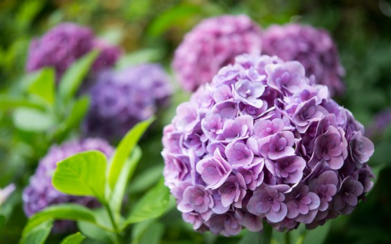 Wallpaper Purple hydrangea, garden flowers