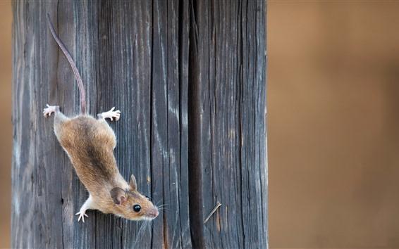 Papéis de Parede Rato, placa de madeira