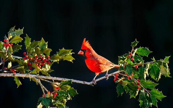 Обои Красная кардинальная птица, веточки, красные ягоды