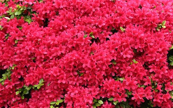 Papéis de Parede Flores vermelhas de floração, rododendro