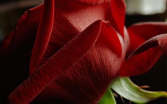 Fond d'écran Gros plan rose rouge, pétales, fond noir