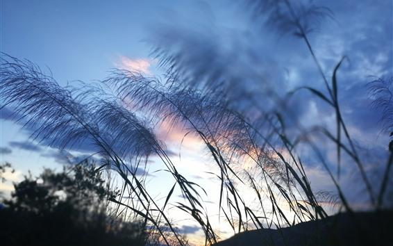 Wallpaper Reed, grass, sky, dusk