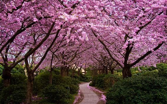 Papéis de Parede Sakura floração, árvores, caminho, jardim, primavera