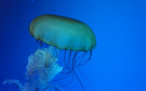 Wallpaper Sea animal, jellyfish, blue background