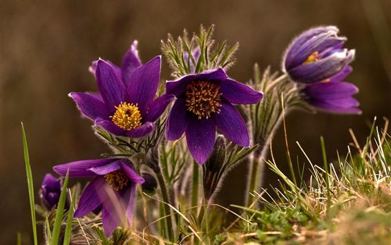 Wallpaper Sleep-grass, purple flowers