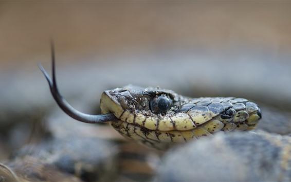Papéis de Parede Cobra, cabeça, olho, língua