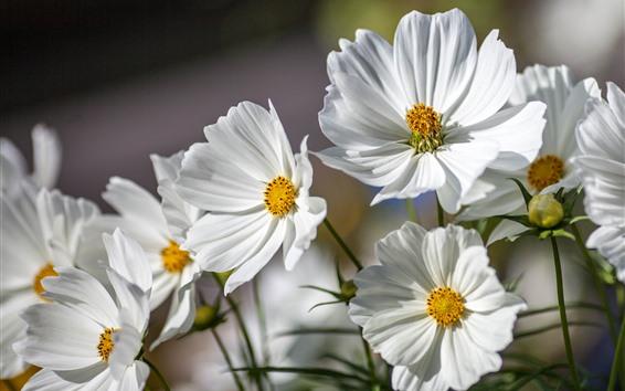 Papéis de Parede Algumas flores brancas de kosmeya