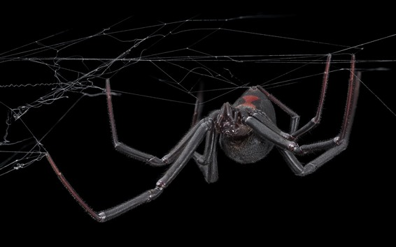 Wallpaper Spider, web, black background