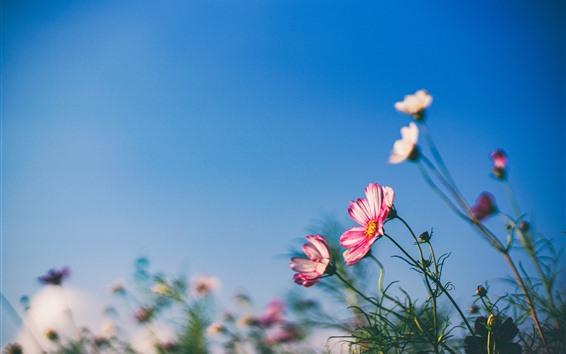 배경 화면 봄의 꽃, 코스모스