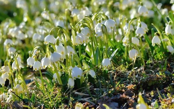 Papéis de Parede Flores da primavera, snowdrops brancos, luz solar