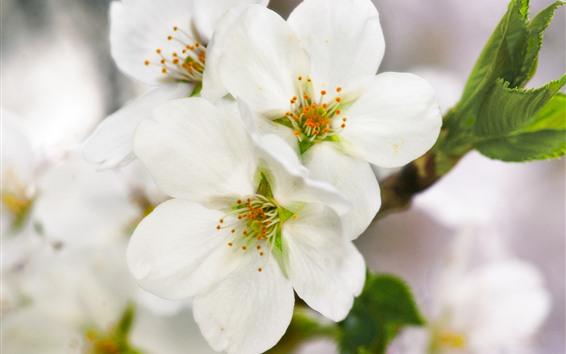 桌布 春天,白色的花朵綻放