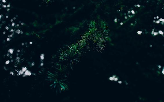 Wallpaper Spruce, needles, twigs