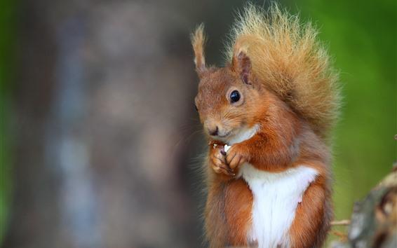 Wallpaper Squirrel eat nut, blurry background