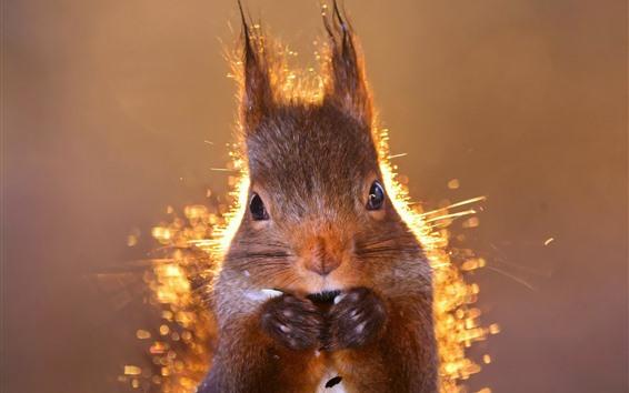 Papéis de Parede Vista frontal do esquilo, luz de fundo