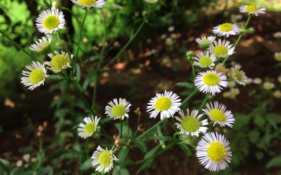 Wallpaper Summer flowers, white chamomile, hazy