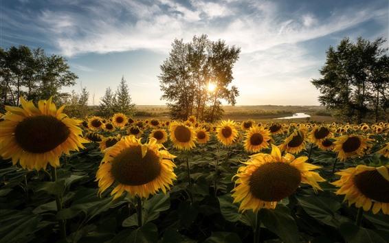 Papéis de Parede Girassóis, árvores, manhã, raios de sol