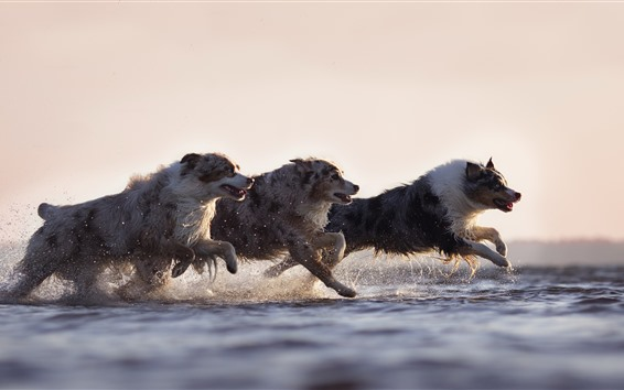 Wallpaper Three dogs running, speed, water, splash