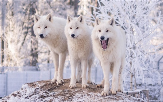 Wallpaper Three white wolves, winter, snow
