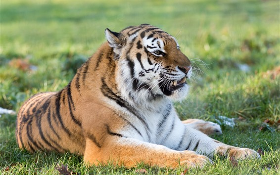 Fond d'écran Repos du tigre, dents, moustaches, herbe