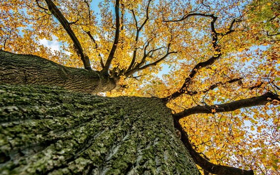 Wallpaper Tree, bottom view, trunk, yellow leaves, autumn