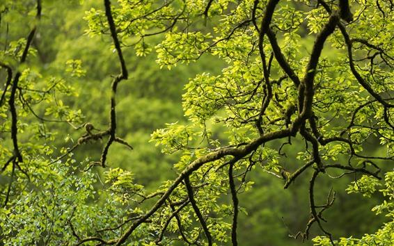 Fond d'écran Arbre, branches, feuilles vertes, forêt