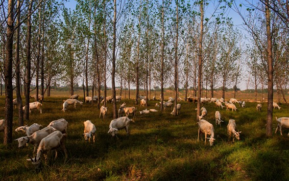 Wallpaper Trees, sheep eat grass, countryside