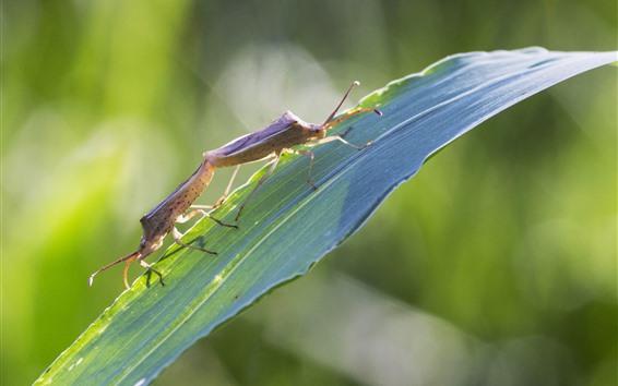 Fond d'écran Deux coléoptères, feuille d'herbe