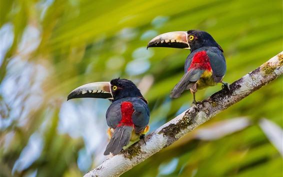 Обои Две птицы, тукан, оглядывающийся назад, ветка дерева