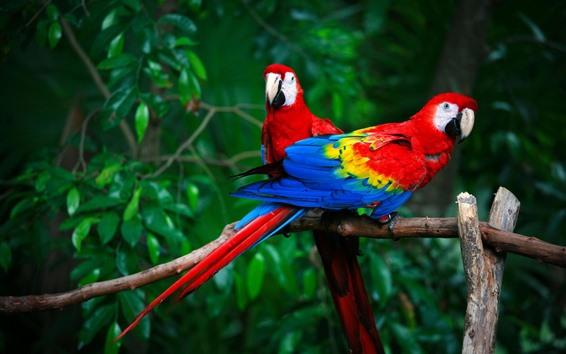 Papéis de Parede Duas araras, papagaios, penas coloridas