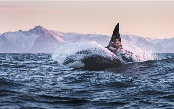 Papéis de Parede Baleia, mar, ondas, splash
