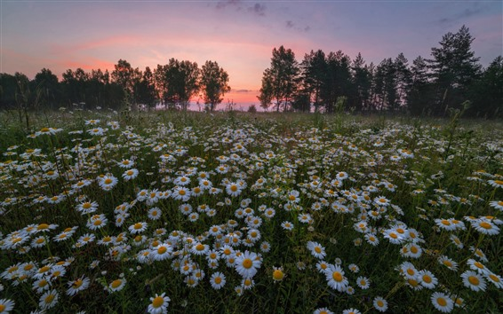 Wallpaper White chamomile flowers field, trees, sunset