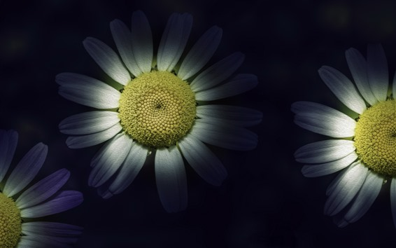 Wallpaper White chamomile, petals, darkness, art style