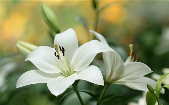Papéis de Parede Lírio branco flores close-up