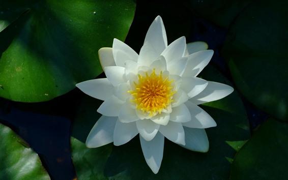 Wallpaper White water lily, petals, pistil, leaves