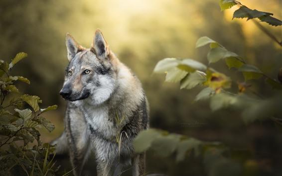 壁紙 オオカミ、茂み、葉