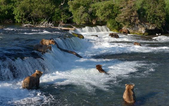 壁紙 アラスカ、カトマイ国立公園、クマ、滝