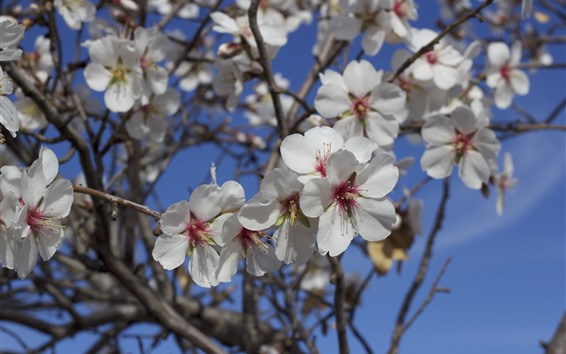 Wallpaper Almond tree flowers bloom, white petals, spring