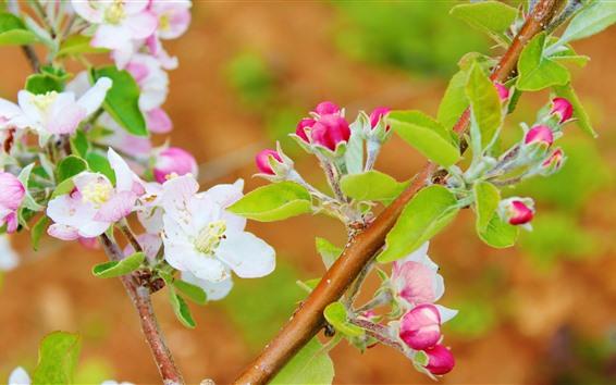 Papéis de Parede Flores da árvore de maçã, rosa e branco