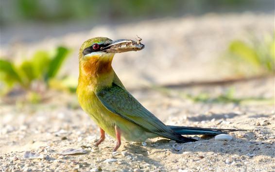 Wallpaper Bee-eater, bird, ground