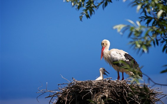 Papéis de Parede Pássaros, cegonhas, família