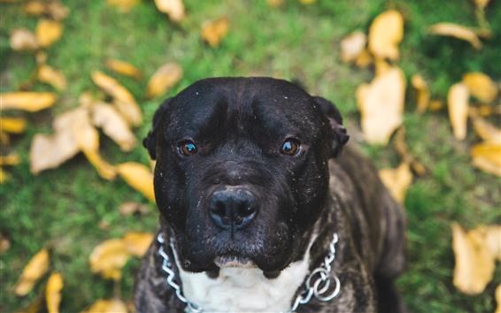 Обои Черная собака, голова, взгляд, листья