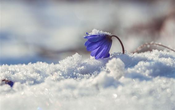 Wallpaper Blue flower, primrose, snow, winter