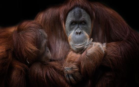 Papéis de Parede Orangotango marrom