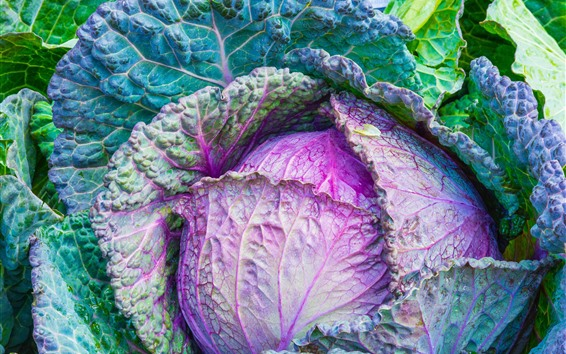 Wallpaper Cabbage, green and purple, vegetable