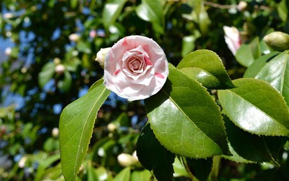 배경 화면 동백, 핑크 꽃, 녹색 잎