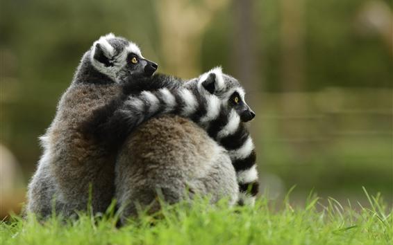 Wallpaper Cute animals, lemur, hugging