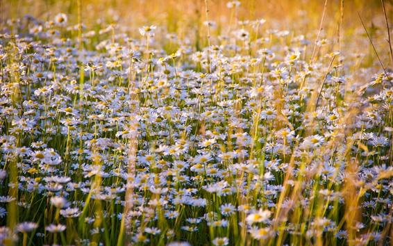 Fond d'écran Champ de fleurs de marguerites