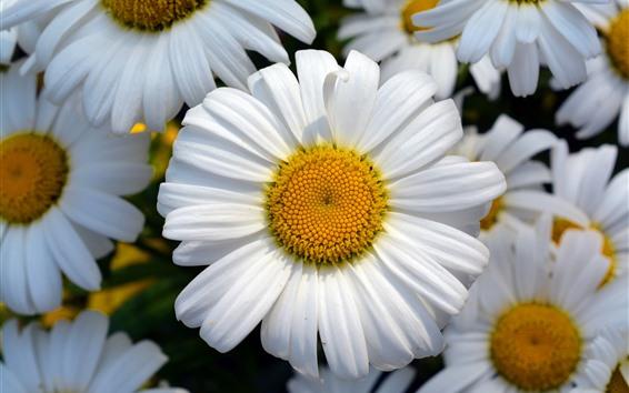 배경 화면 데이지, 꽃, 흰 꽃잎