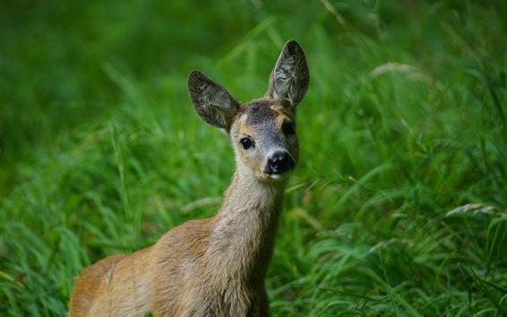 Wallpaper Deer, look, green grass