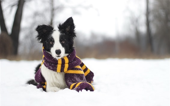 Wallpaper Dog, snow, scarf, winter